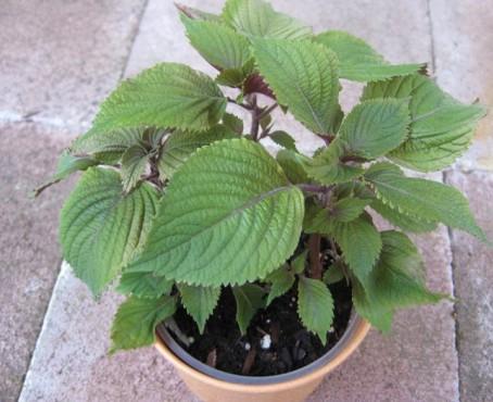 Cách trồng lá tía tô